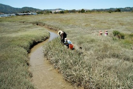 A photo of two students in a muddy salt marsh tending to an experiment