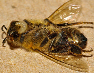 Fly larvae emerge from a bee after being deposited in the bee's abdomen several days earlier.