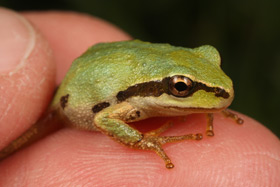 Photo of a Pacific chorus frog -- a small, bright green frog on a human hand.
